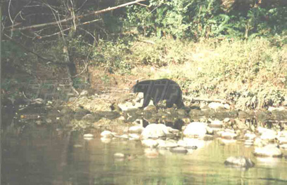 nootka black bear