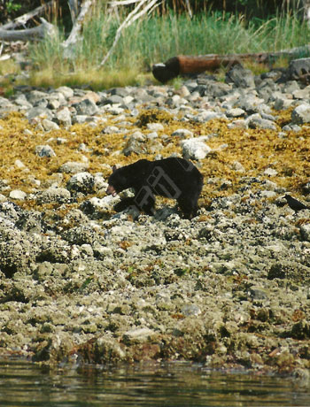 black bear scrounging for shellfish