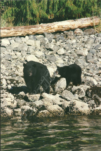 sow black bear and cub looking for crabs and shellfish