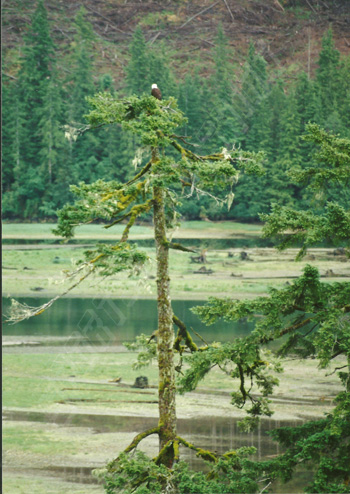bald eagle in a tree in the conuma river estuary