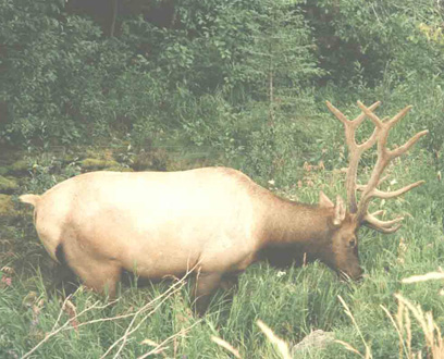 bull elk in conuma river estuary