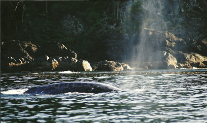 nootka gray whale