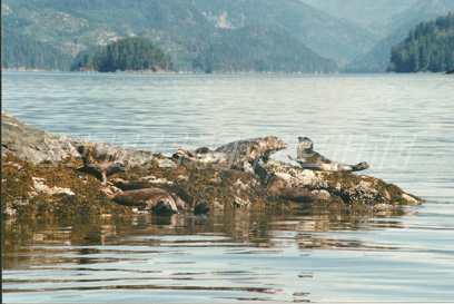 sun bathing seals in nootka sound, british columbia canada